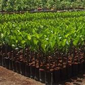 Thông tư 26/2019/TT-BNNPTNT lưu mẫu giống cây trồng kiểm định ruộng giống