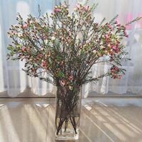 Ý nghĩa của hoa thanh liễu là gì? Cách cắm hoa thanh liễu đẹp đón Tết sung túc